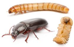 mealworm-life-cycle